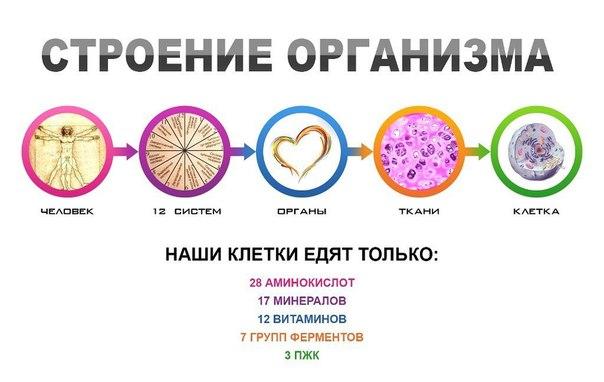 stroenie-organizma